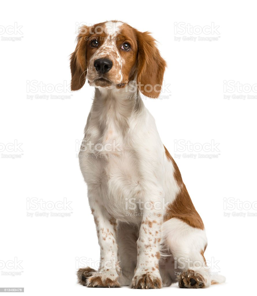 Welsh Springer Spaniel sitting in front of a white background stock photo