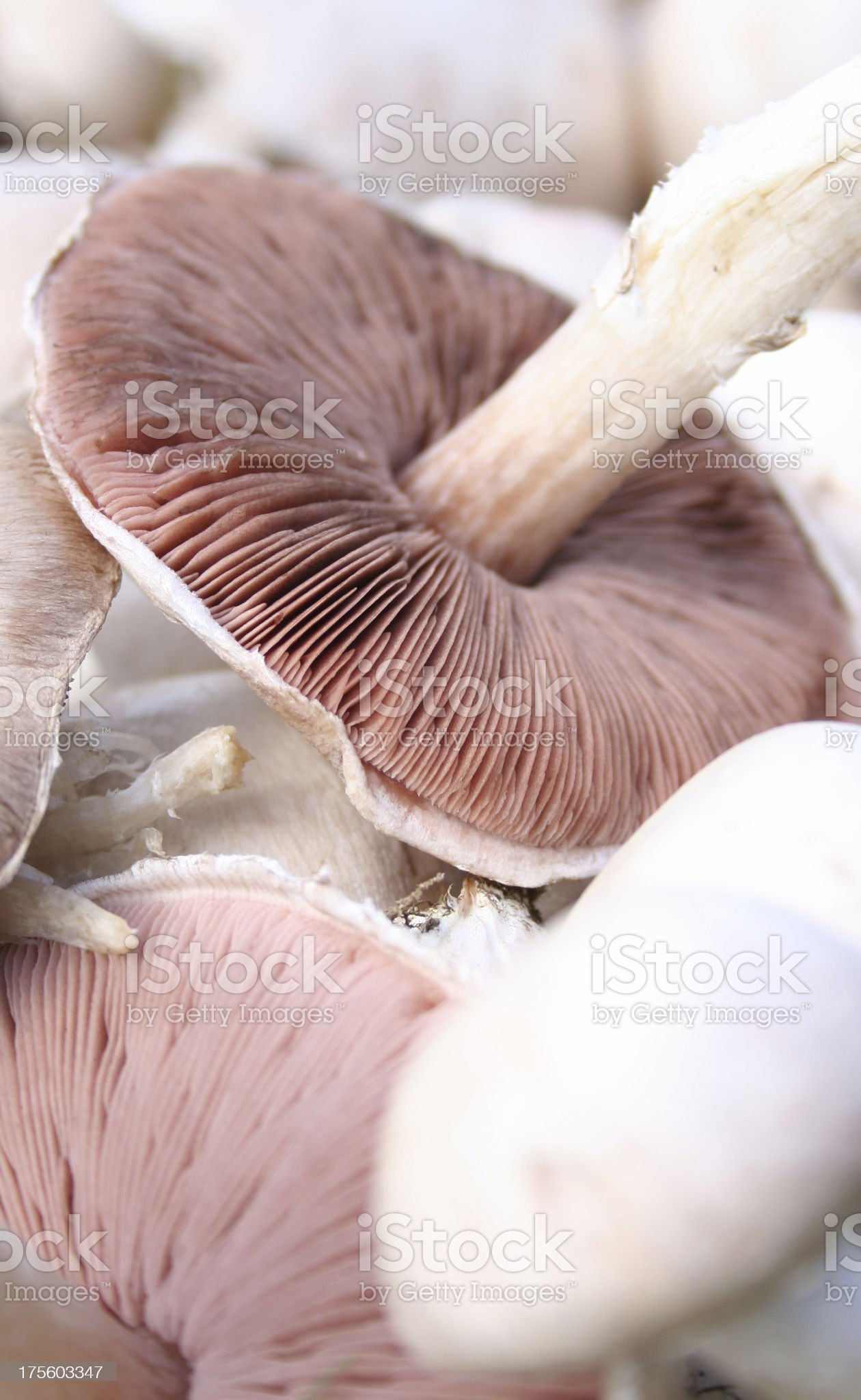 Welsh wild field mushrooms royalty-free stock photo