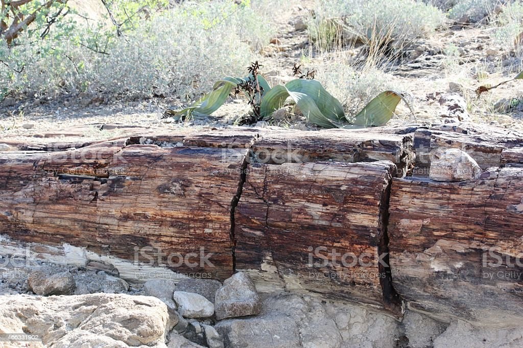 Welwitschia on fossilized tree trunk in Namibia stock photo