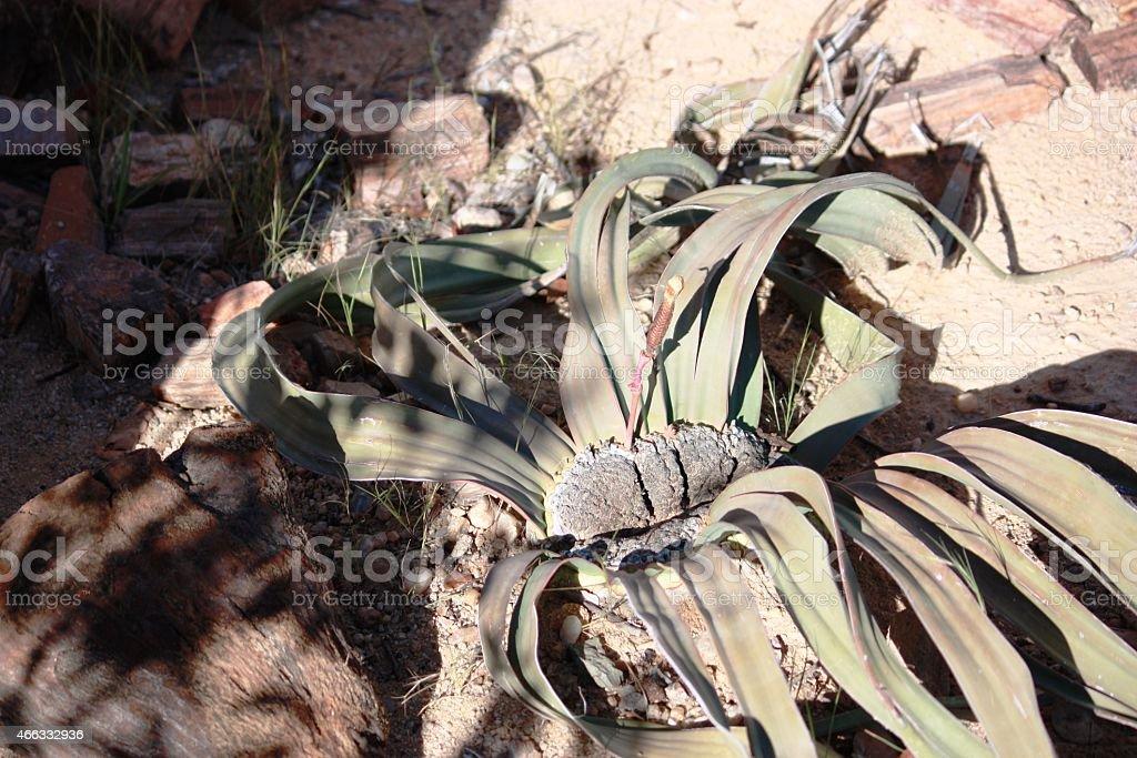 Welwitschia plant in Namibia stock photo
