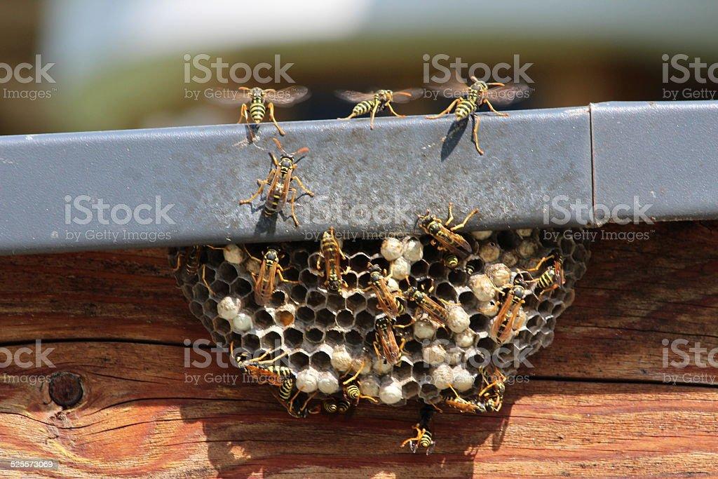 wespennest stock photo