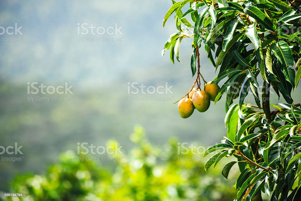 West African landscape with mango tree. Benin. stock photo