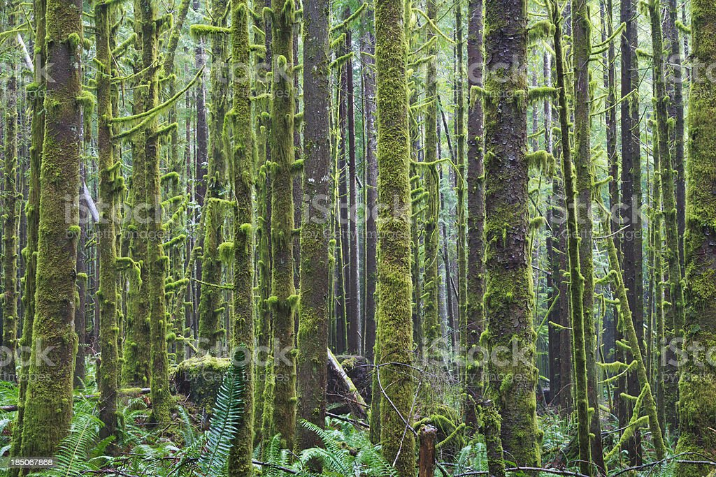 West Coast Rainforest stock photo