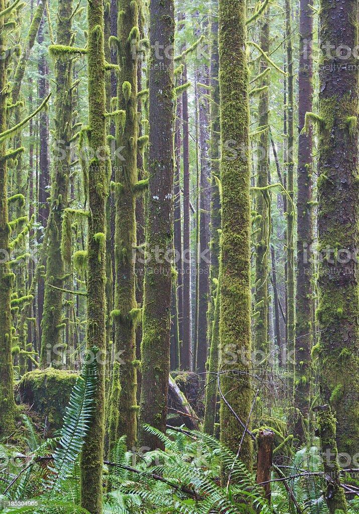 West Coast Rainforest (Vertical) stock photo