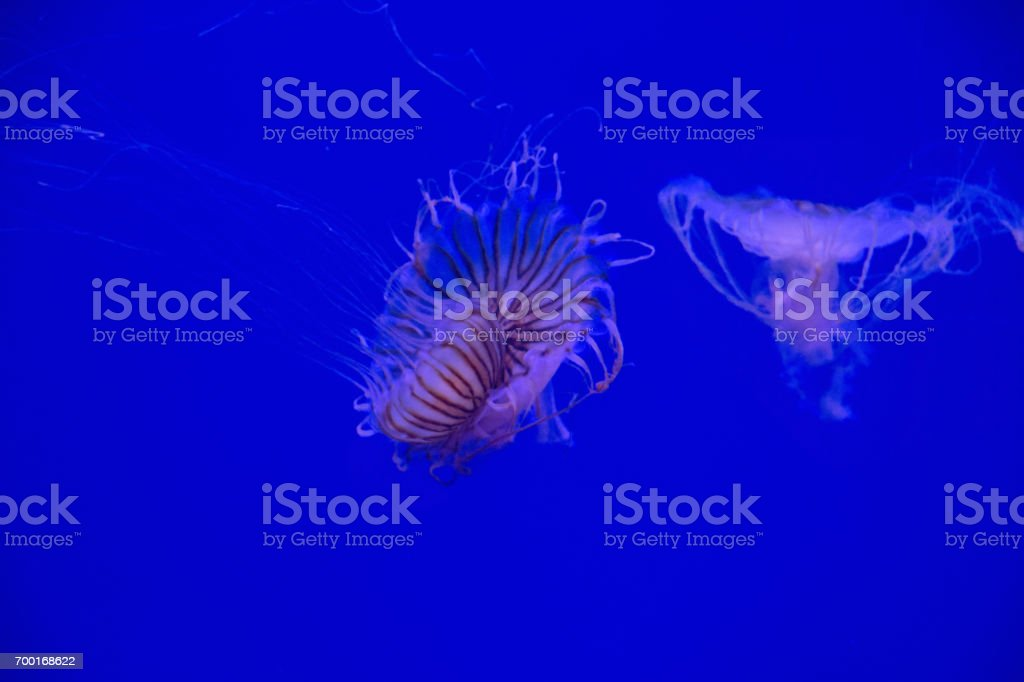 West Coast sea nettle moving up side by side under water. stock photo