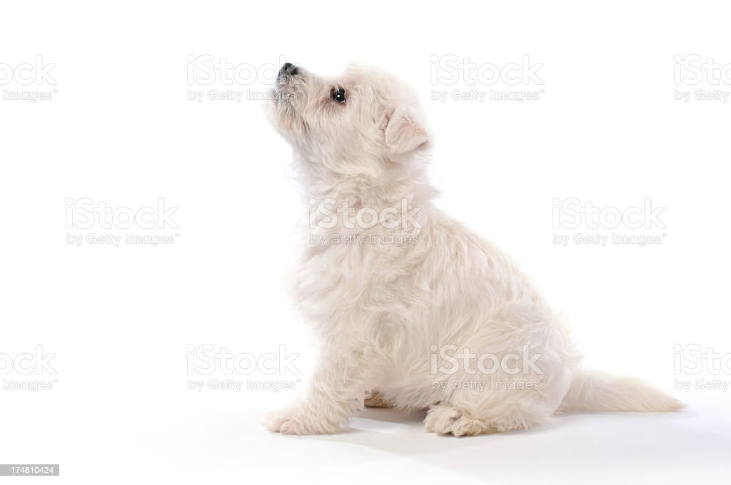West Highland Terrier 6 week old puppy sitting on a white table royalty-free stock photo