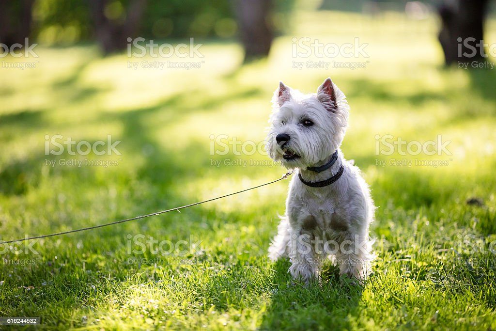 west highland terrier in the park stock photo