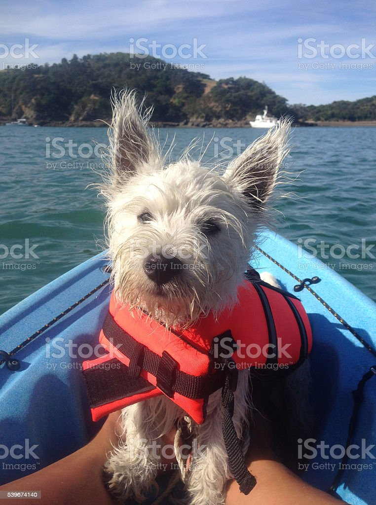 West highland terrier on kayak in lifejacket stock photo