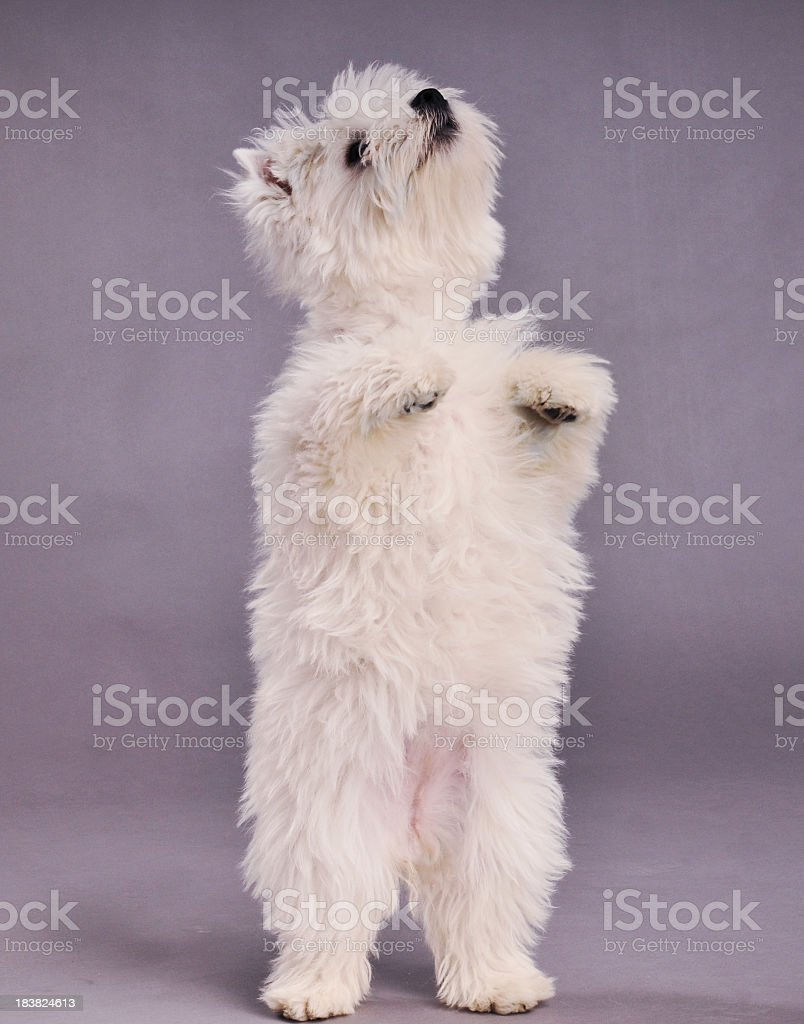 West Highland Terrier rearing and looking up royalty-free stock photo
