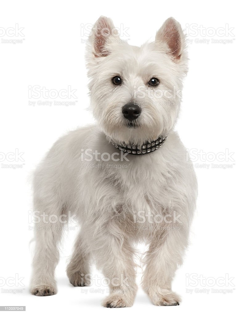 West Highland White Terrier, 8 months old, standing. stock photo