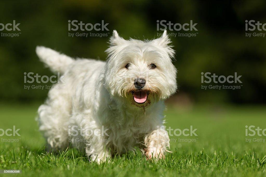 West Highland White Terrier Dog stock photo