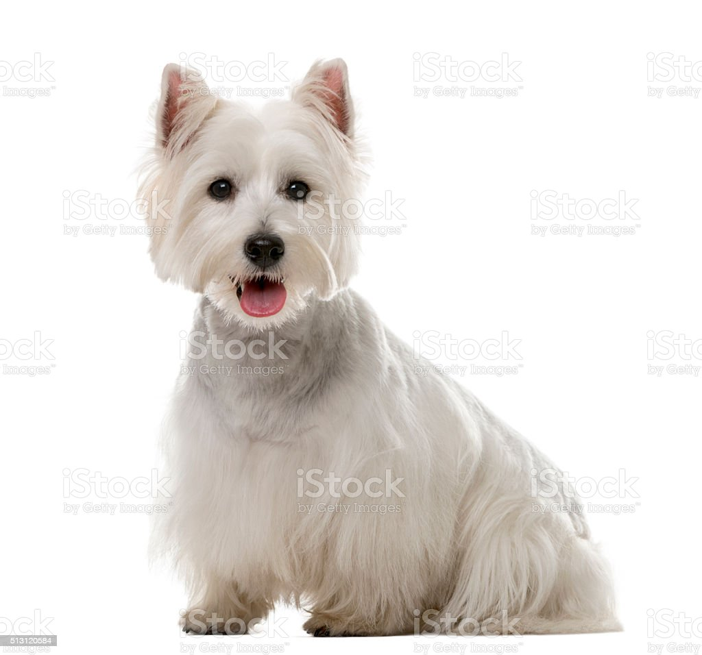 West Highland White Terrier (1 year old) stock photo