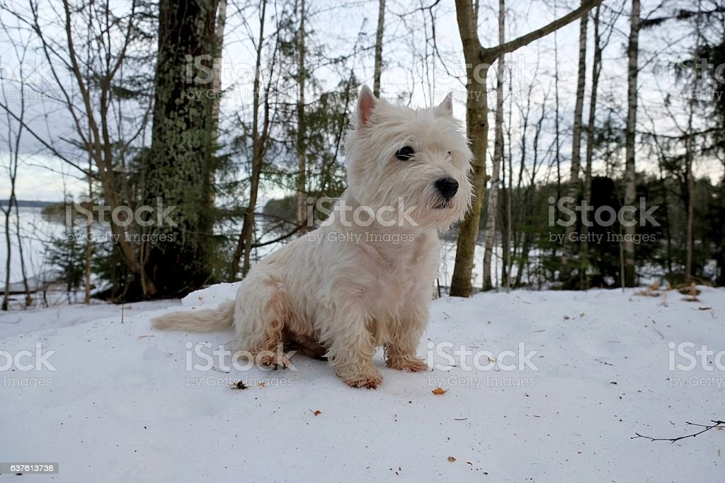West highland white terrier. stock photo