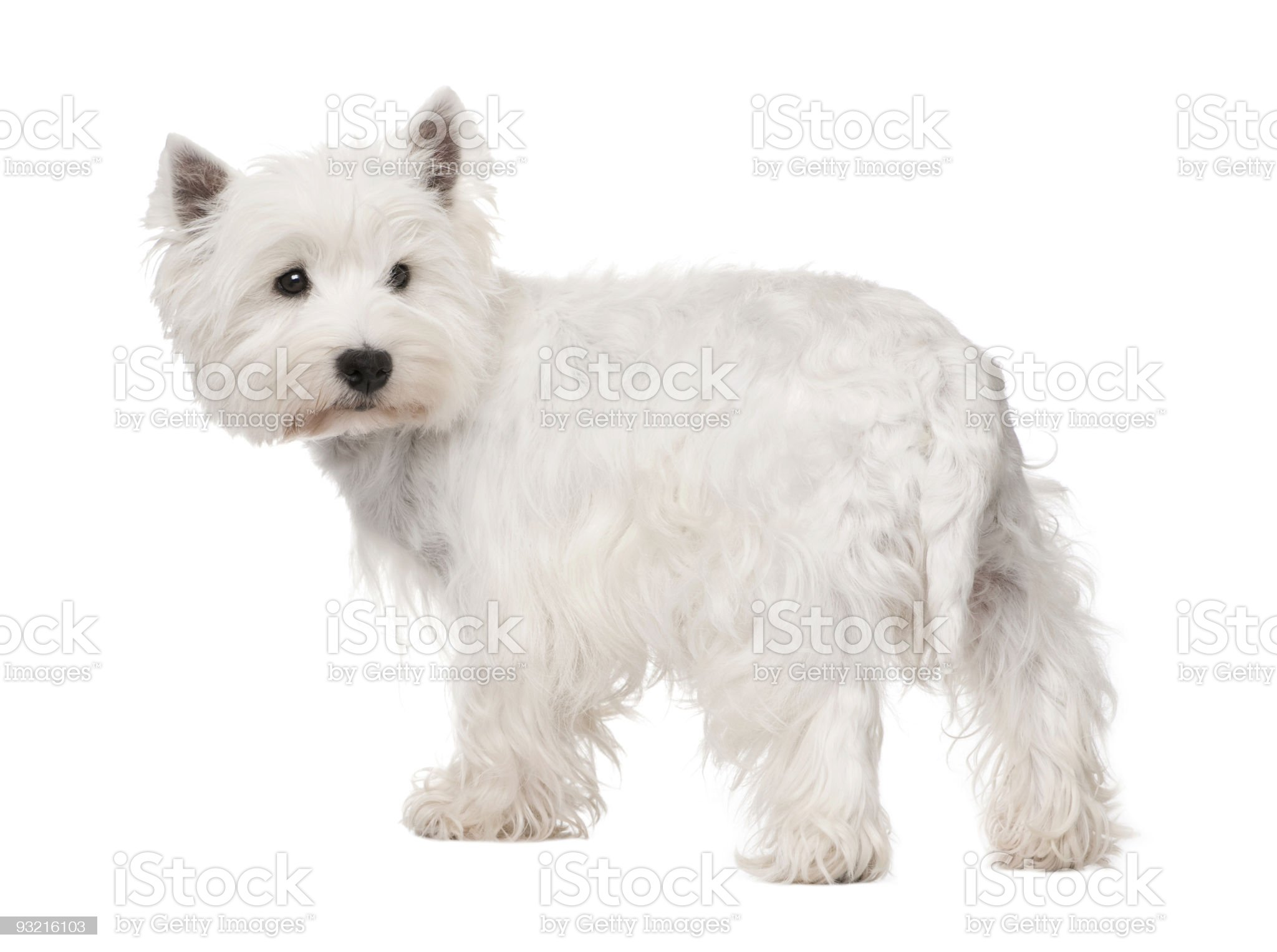 West Highland White Terrier royalty-free stock photo