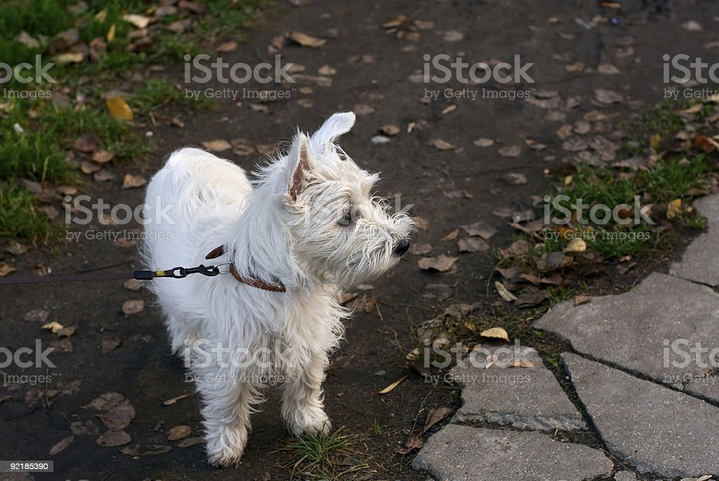 West Highland White Terrier puppy royalty-free stock photo