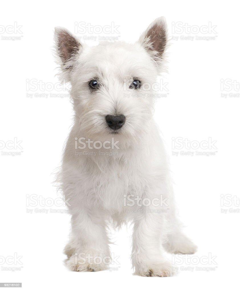 West Highland White Terrier puppy (3 months) stock photo