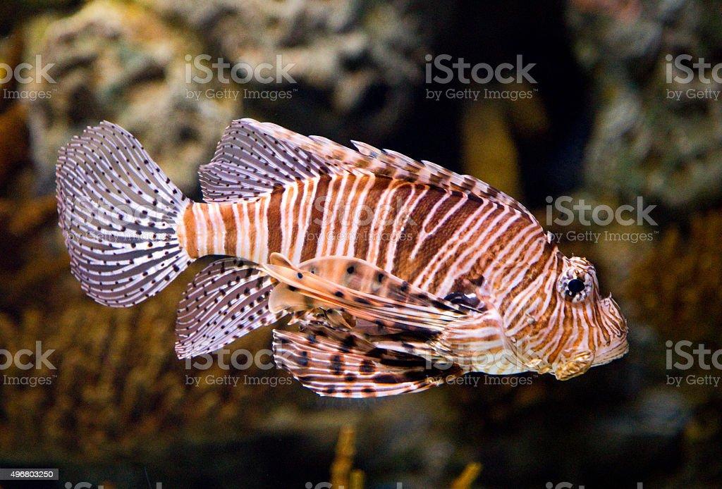 West indian ocean coelacanth royalty-free stock photo