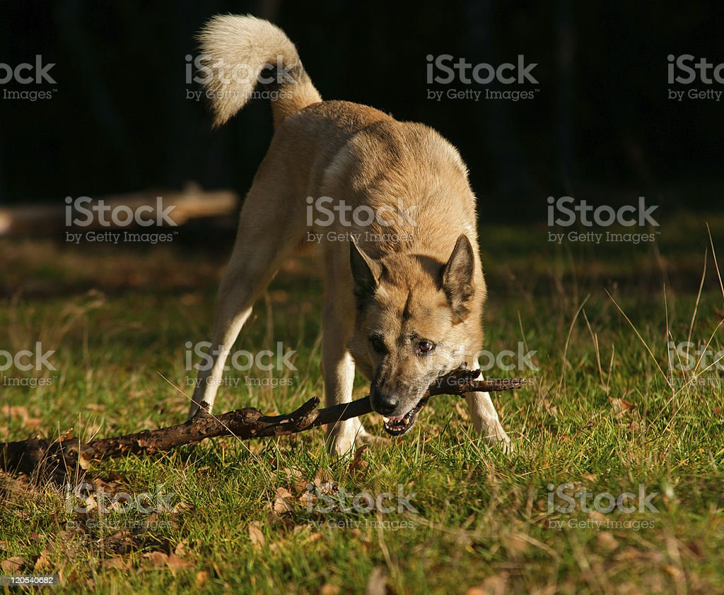 West Siberian laika (husky) playing with stick stock photo