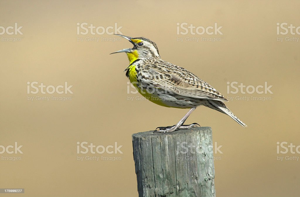Westerm Meadowlark royalty-free stock photo