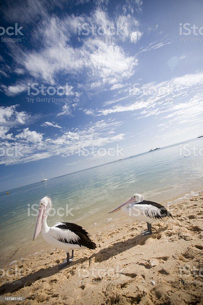 Western Australia - pelicans stock photo