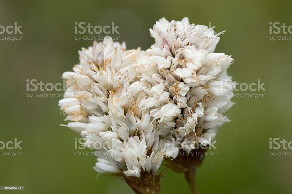 Western Bistort, Polygonum bistortoides stock photo