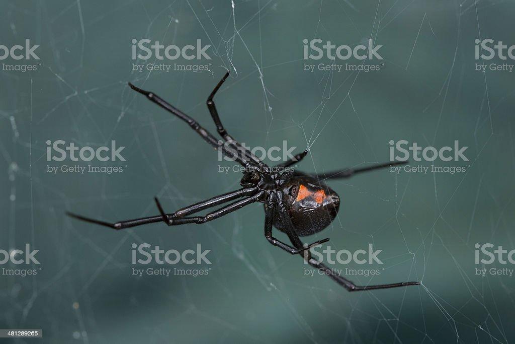 Western Black Widow royalty-free stock photo