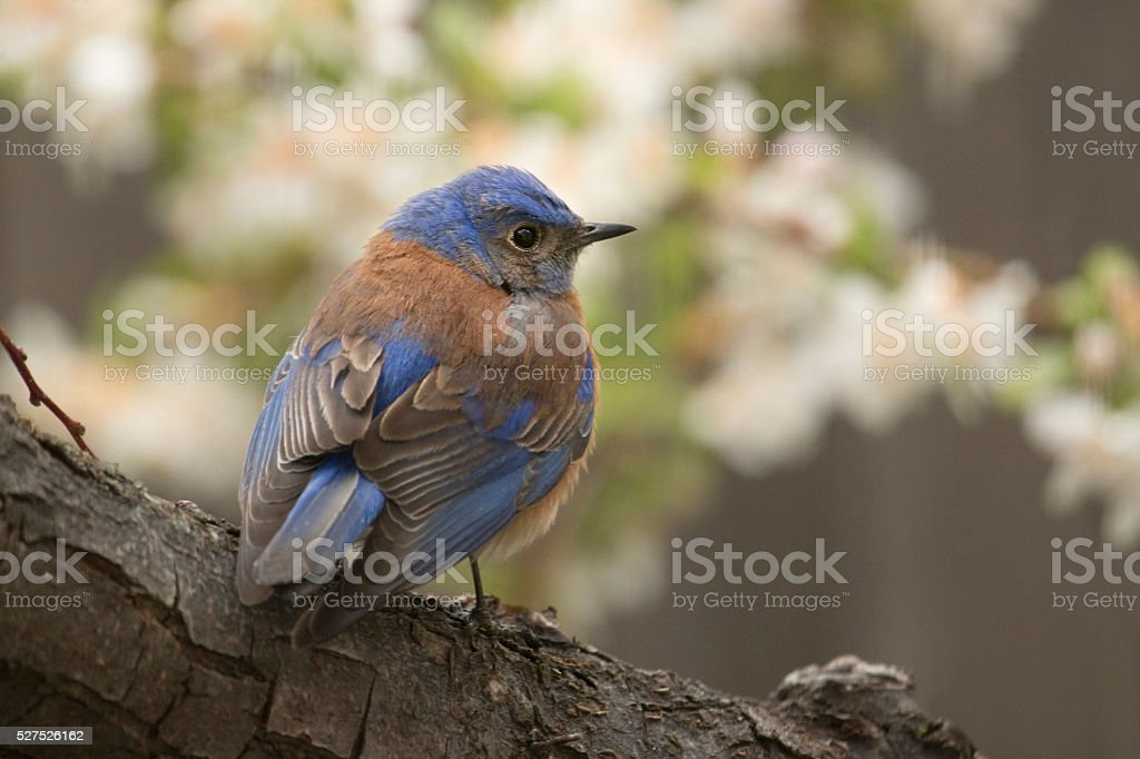 Western bluebird perched in blooming apple tree Littleton Colorado stock photo