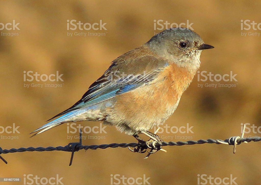 Western Bluebird royalty-free stock photo