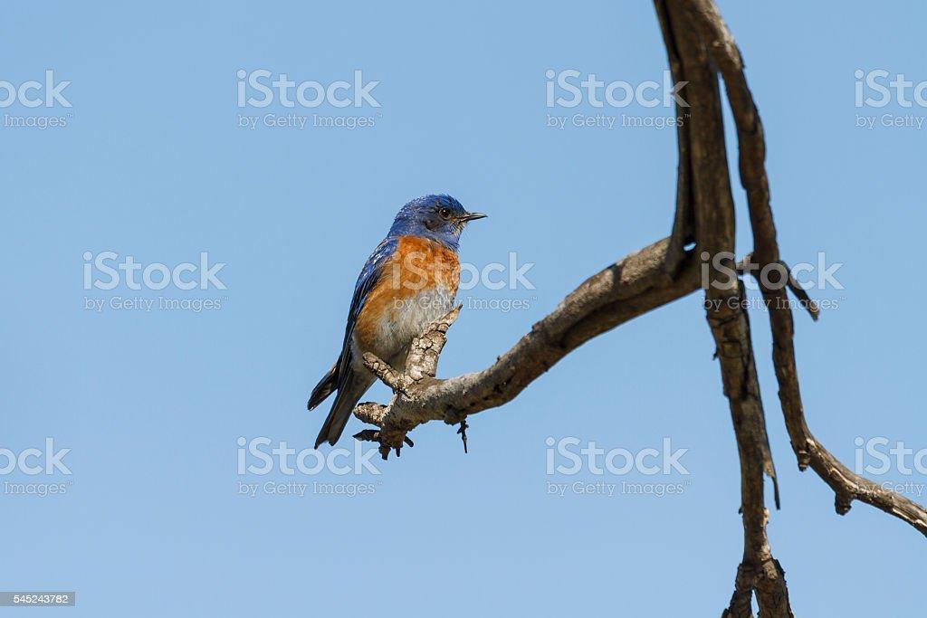 Western Bluebird (Sialia mexicana) stock photo
