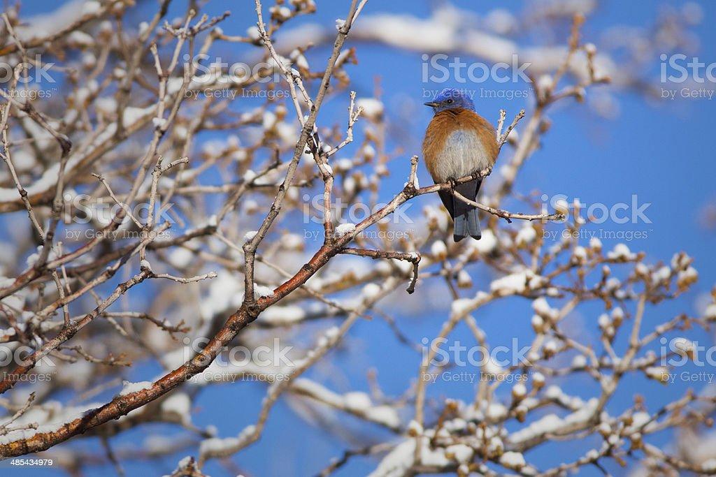 Western Bluebird Winter stock photo