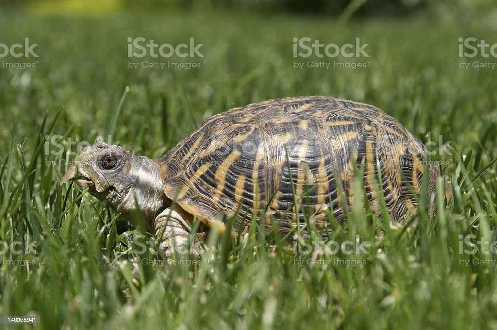 Western Box Turtle 04 stock photo