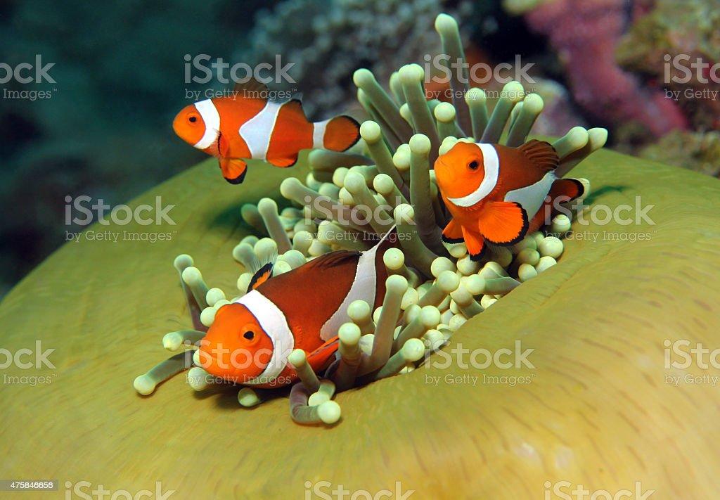 Western Clown Anemonefish stock photo