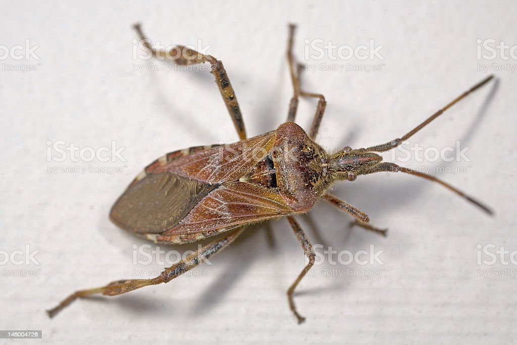 Western Conifer Seed Bug royalty-free stock photo
