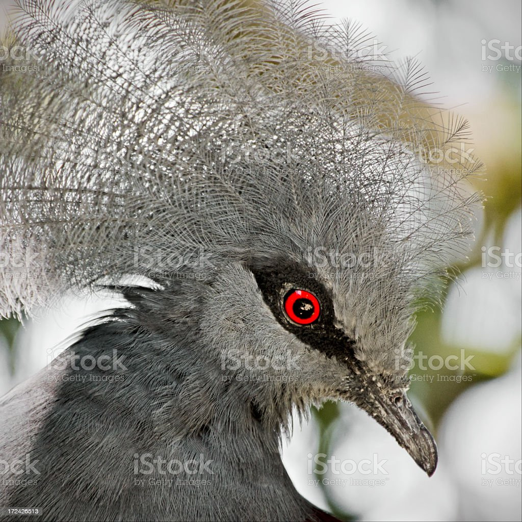 western crowned pigeon  Goura cristata stock photo