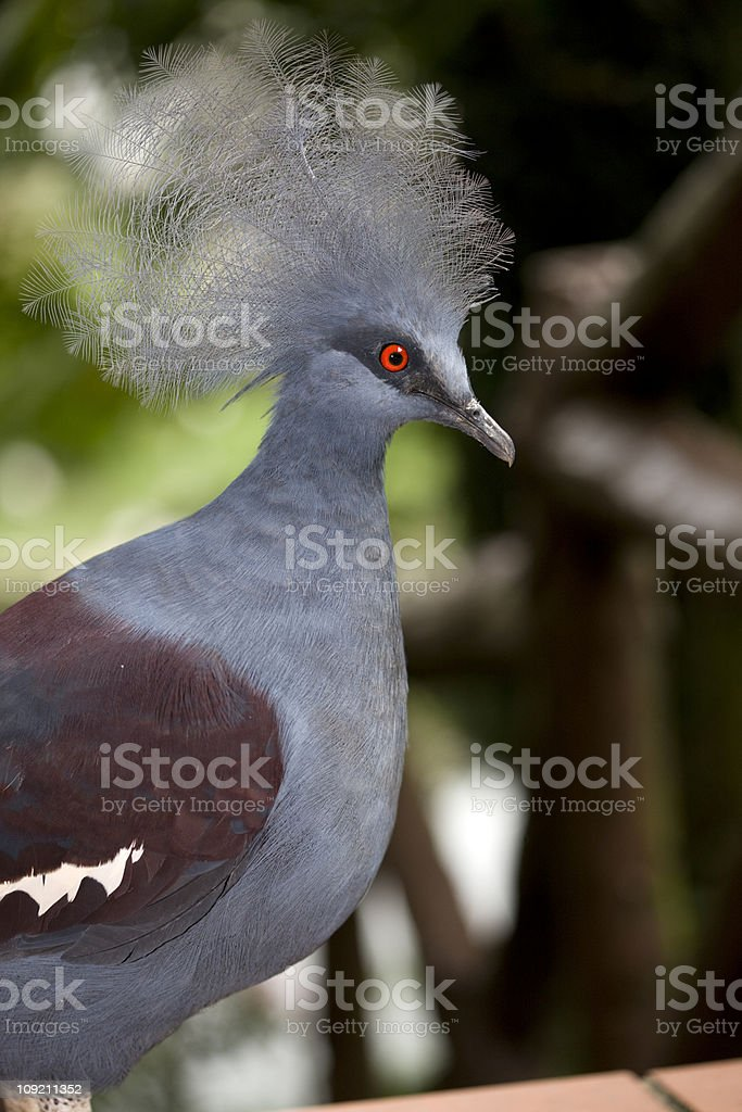 Western Crowned pigeon (Goura cristata) royalty-free stock photo