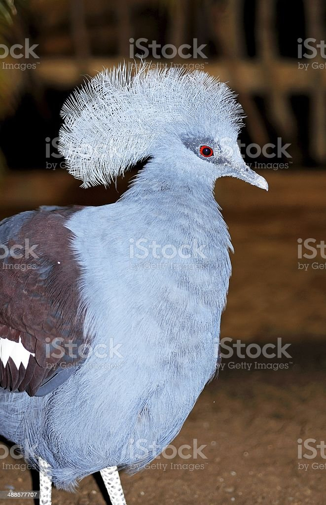 Western Crowned Pigeon. royalty-free stock photo