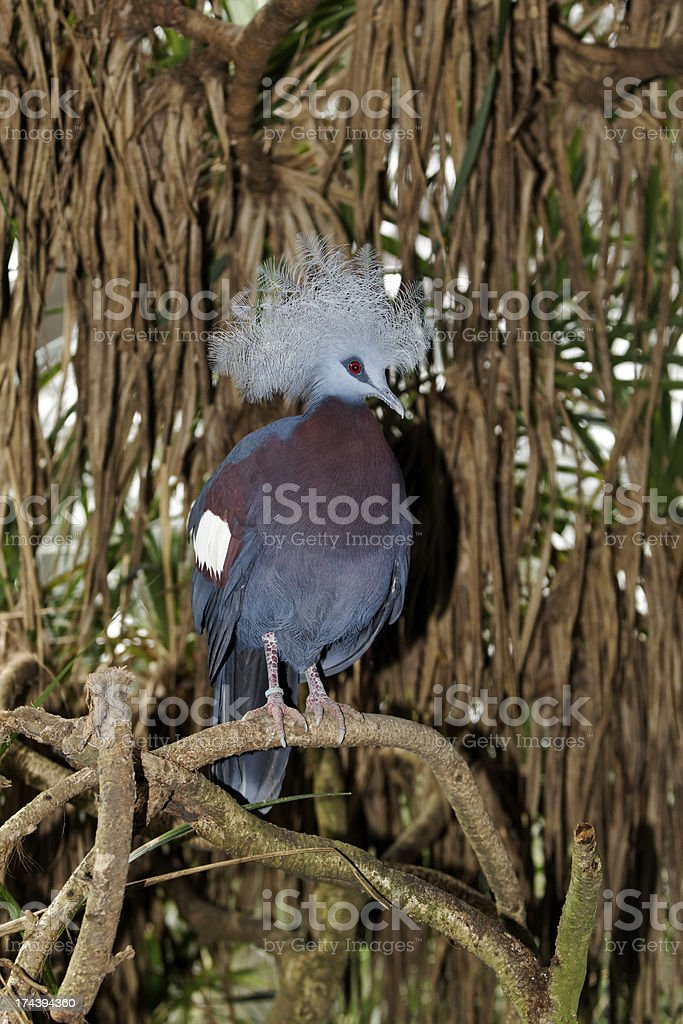 Western crowned-pigeon, Goura cristata royalty-free stock photo