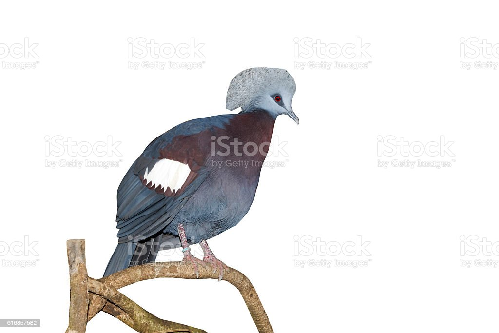 Western crowned-pigeon, Goura cristata stock photo