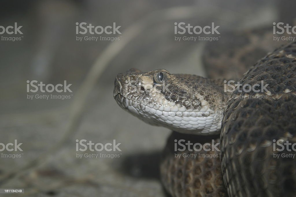 Western DB Rattlesnake stock photo
