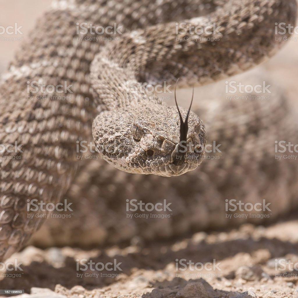 Western Diamnondback Rattlesnake ready to strike royalty-free stock photo