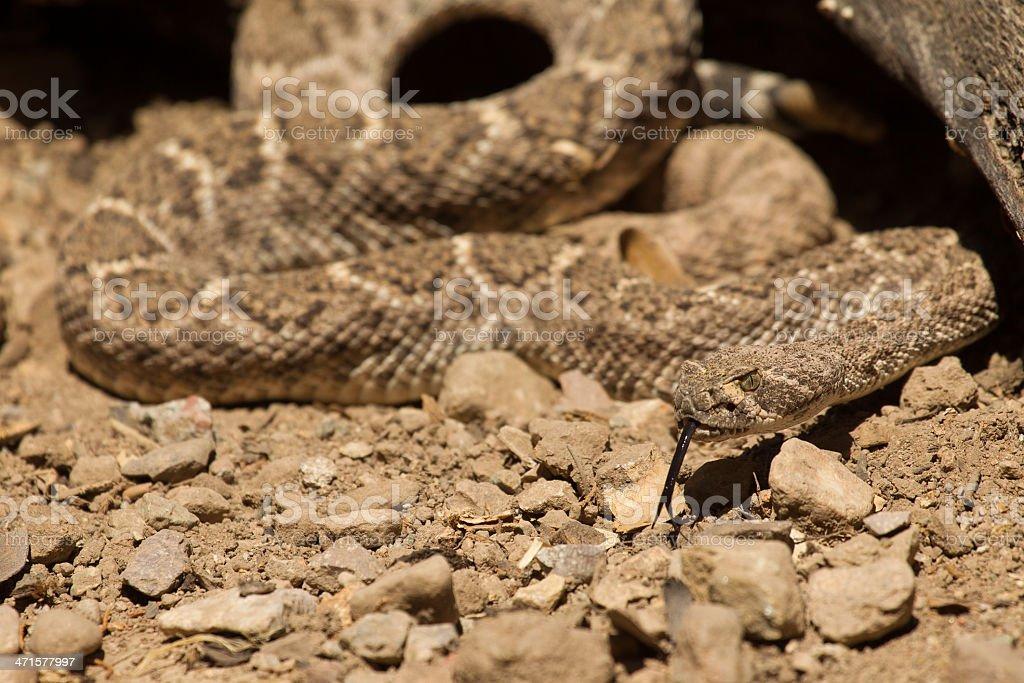 Western Diamond Backed Rattlesnake royalty-free stock photo