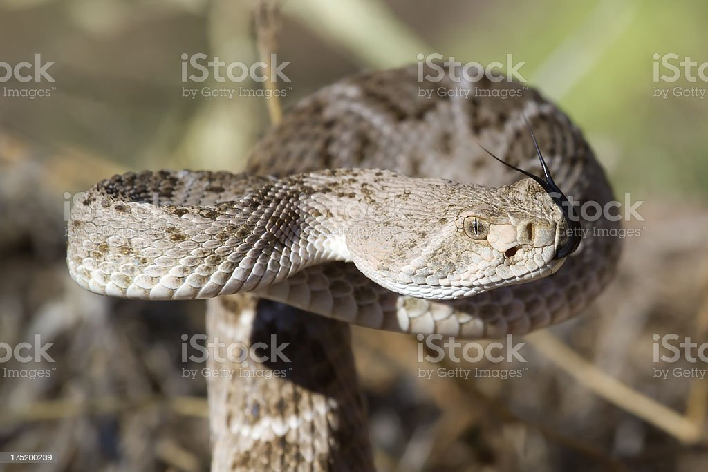 Western Diamondback Rattlesnake, 10/14/12 royalty-free stock photo