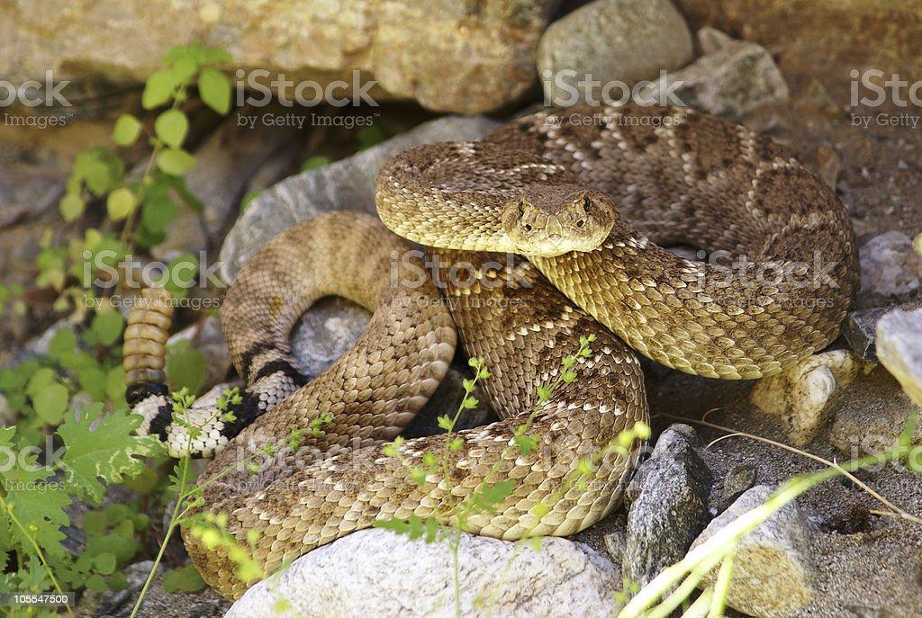 Western Diamondback Rattlesnake hiding in rocks royalty-free stock photo