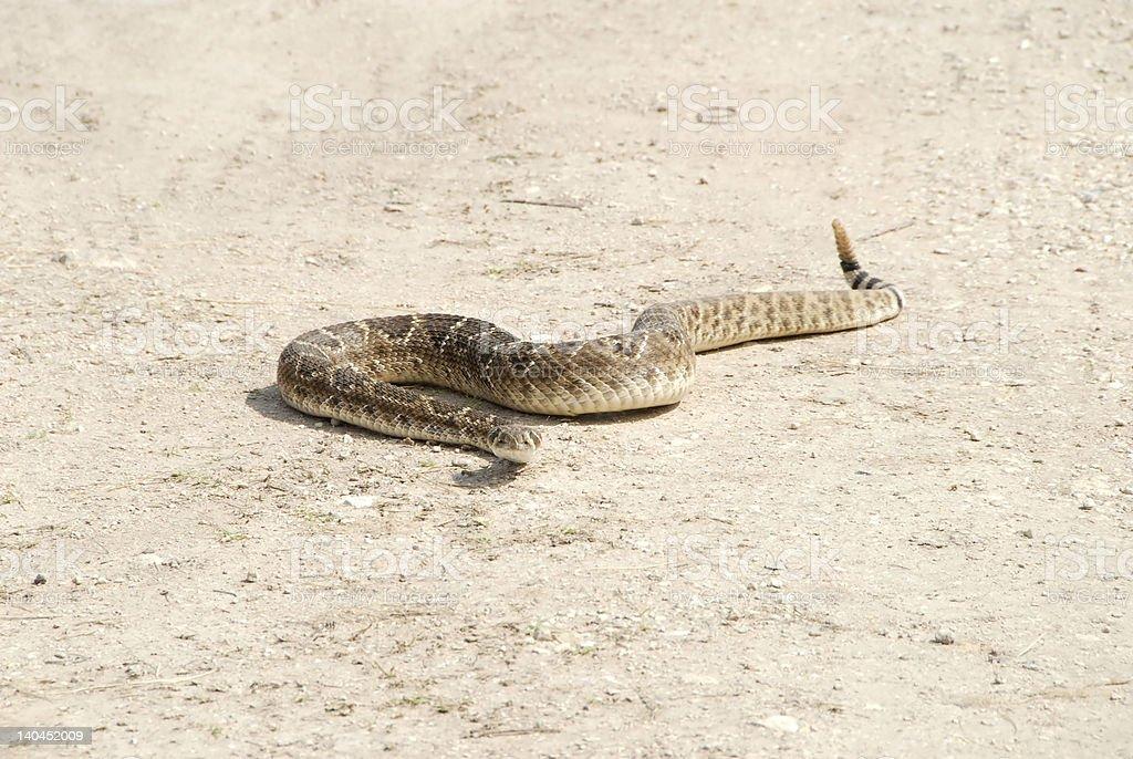 Serpiente de cascabel espalda de diamante foto de stock libre de derechos
