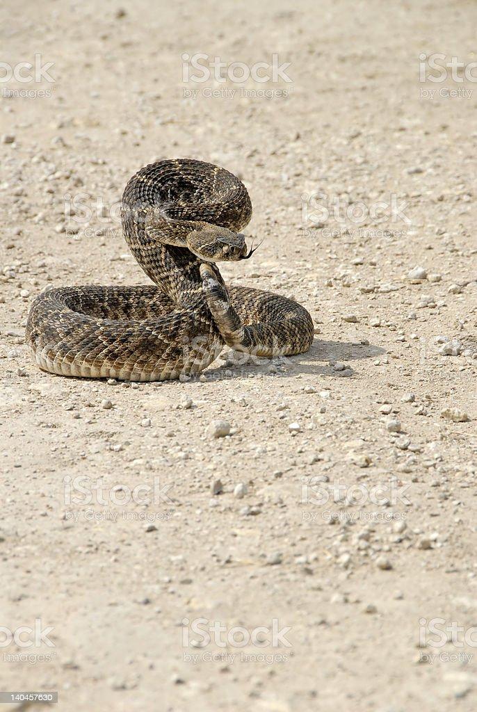 Serpiente de cascabel espalda de diamante (Crotalus atrox) foto de stock libre de derechos