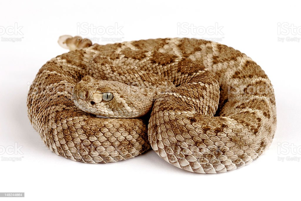 Western Diamondback Rattlesnake (Crotalus atrox). royalty-free stock photo