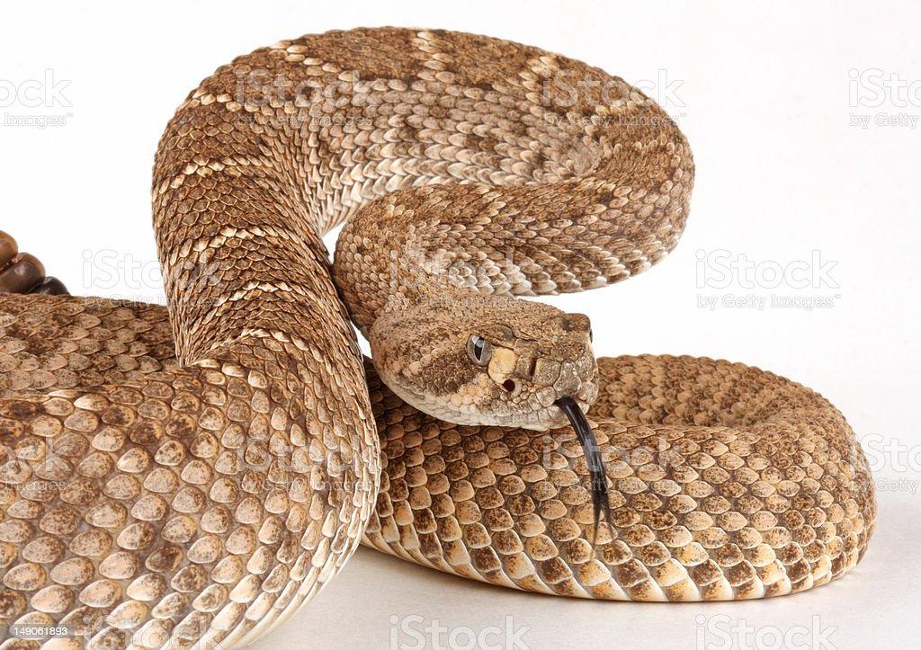 Western Diamondback Rattlesnake (Crotalus atrox). stock photo