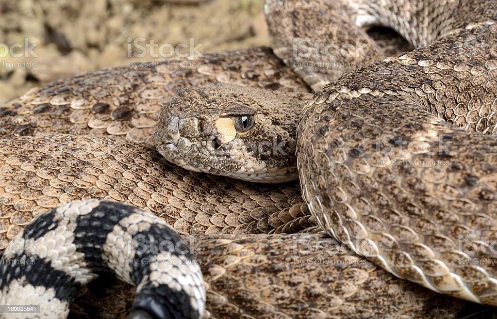Western Diamondback Rattlesnake. royalty-free stock photo