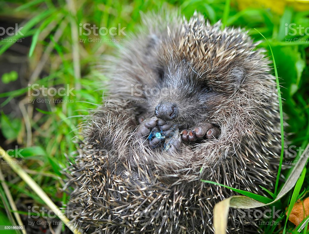 Western European Hedgehog (Erinaceus) curled up into a ball stock photo