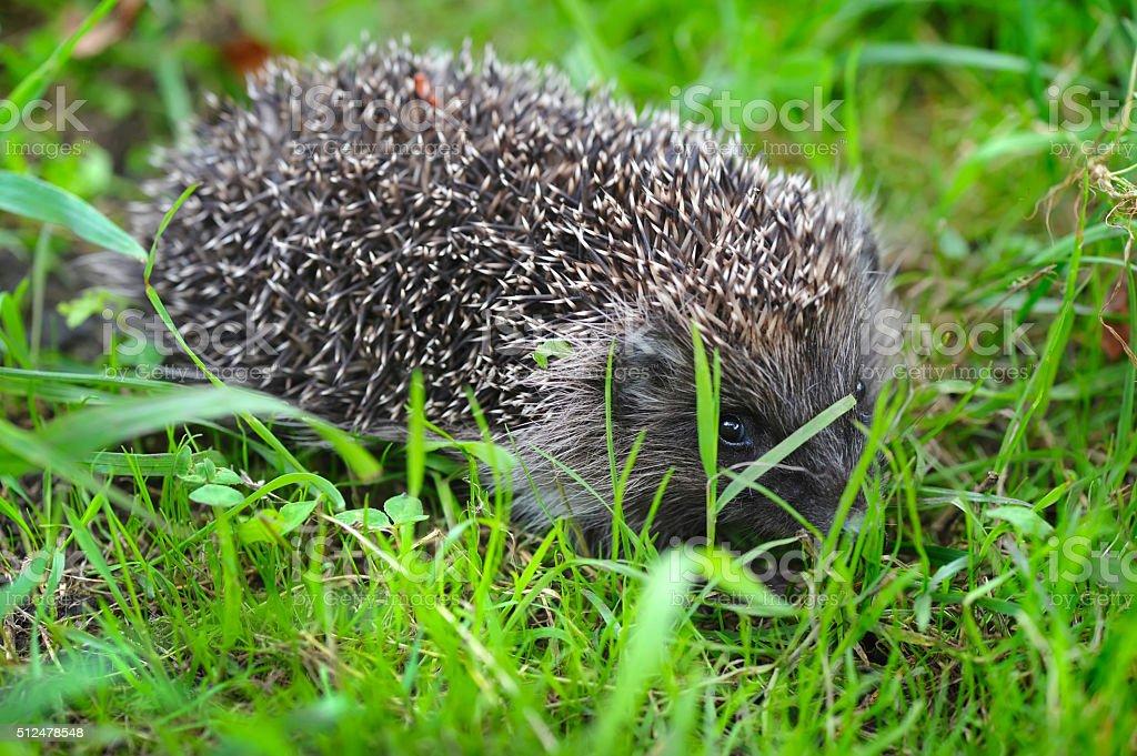 Western European Hedgehog (Erinaceus) in a grass stock photo